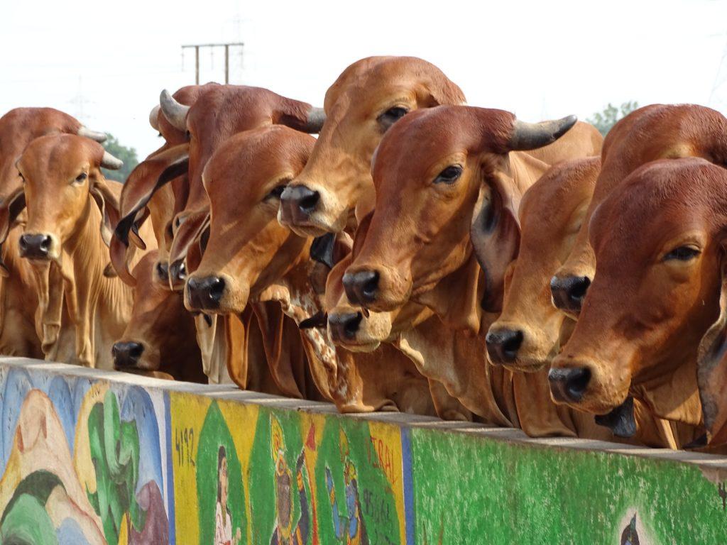 élevage de bœufs dans une ferme urbaine